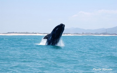 As baleias costumam visitar Garopaba e dão um show