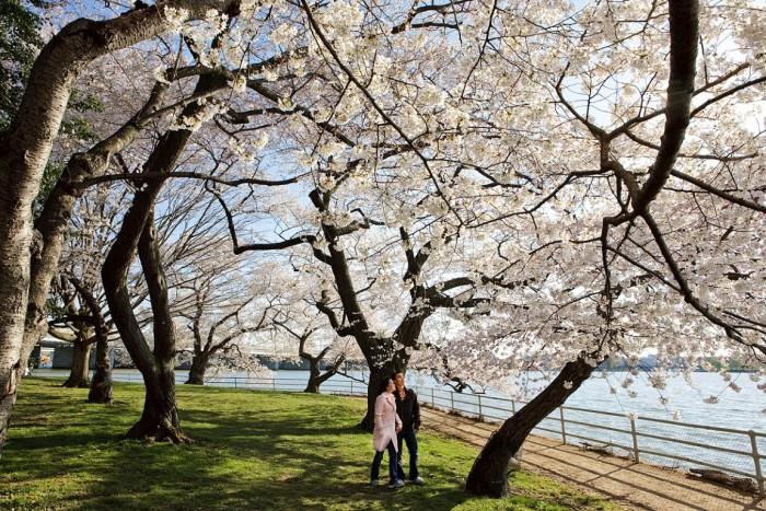 National Cherry Blossom – Festival das Cerejeiras na Primavera dos EUA