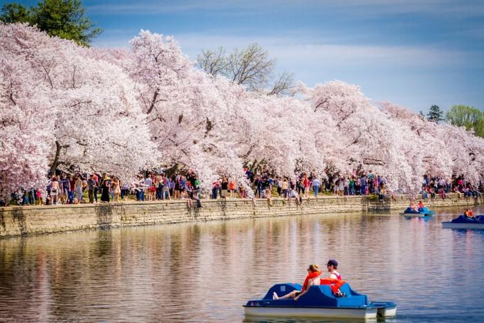 National Cherry Blossom Cerejeiras EUA 3