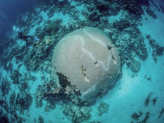 O maior coral cérebro do Ocidente fica em Tobago