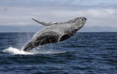 Baleias Jubarte no México