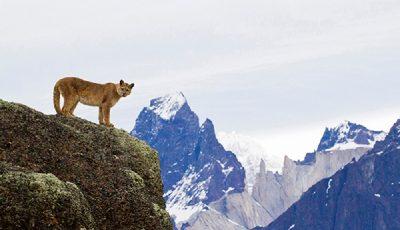 Puma em Torres del Paine - Foto: Richard Zahren