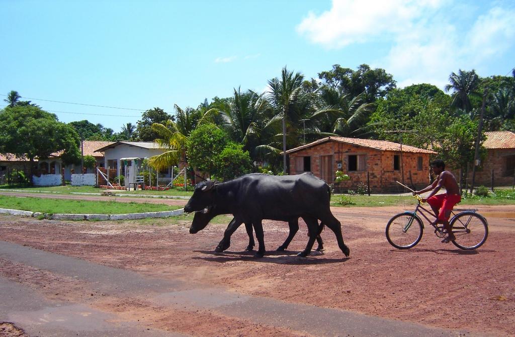 Ilha de Marajó - búfalos andando livremente pelas ruas de Soure