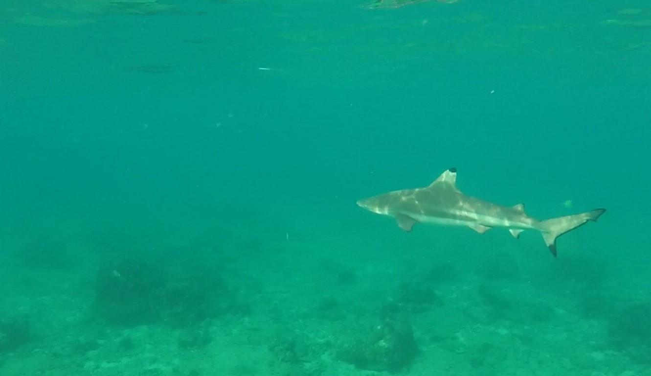 Um dos muitos tubarões que encontramos no Shark Point