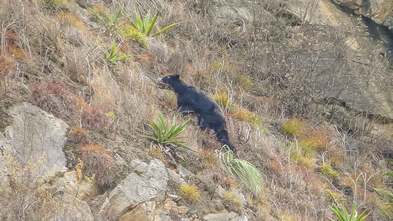 Urso Preto, habitante da região que encontramos na trilha até Choquequirao