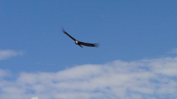 O rei das montanhas do Peru, o condor