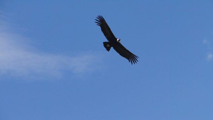 O famoso Condor planando no Canion del Colca