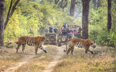 Safári na Índia onde ver o Tigre-de-Bengala
